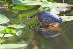 Garza verde que coge un pescado Fotografía de archivo