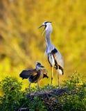 Garza y polluelo del gran azul en la colonia de grajos Imagenes de archivo