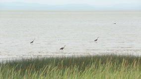 Garzas de gran azul que cazan, Georgia Strait Foto de archivo libre de regalías