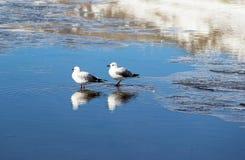 Garzas de laguna Royalty Free Stock Image