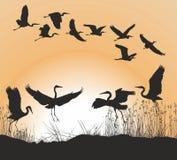 Garzas y gansos Fotografía de archivo libre de regalías