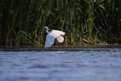 Garzeta blanco de Egreta del egret en vuelo Imagen de archivo