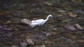 Garzetta blanco del egretta de la pequeña garceta que vadea en el río en hábitat natural en el parque nacional de la garganta de  almacen de video