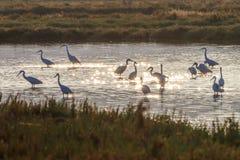 Garzetta Egretta маленьких egrets в восходе солнца Стоковые Изображения RF
