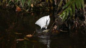 Garzetta egretta/dell'egretta che pesca con lo spinarello in becco immagine stock libera da diritti
