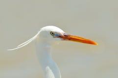 garzetta egretta egret немногая Стоковые Изображения