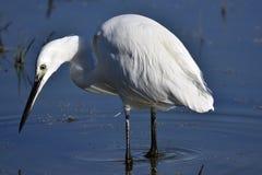 Garzetta, il garzetta è un uccello di Pelecaniform della famiglia di Ardeid Fotografia Stock Libera da Diritti