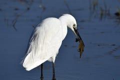 Garzetta, il garzetta è un uccello di Pelecaniform della famiglia di Ardeid Fotografie Stock Libere da Diritti