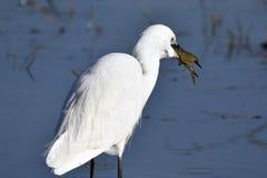 Garzetta, il garzetta è un uccello di Pelecaniform della famiglia di Ardeid Immagine Stock