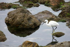 Garzette del Egret Fotografia Stock