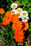 Gasania Blütenin zeigen in königlicher Flora 2011. Lizenzfreie Stockfotos