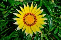 Gasania jaune dans l'exposition de fleur dans Flora royale 2011. Photographie stock libre de droits