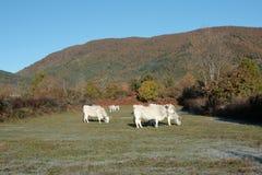Gascon коровы в осени Стоковое Изображение