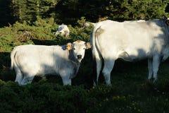 Gascon cielęcina w Pyrenees Zdjęcie Stock