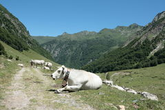 Gascon cow in Pyrenees Stock Images