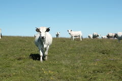 Gascon cows in Pyrenees Royalty Free Stock Photo