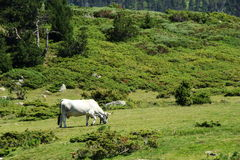 Gasconne cow in Pyrenees Stock Image