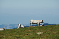 Gasconne cow in Pyrenees Royalty Free Stock Images