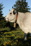 Gasconne cow in Pyrenees Royalty Free Stock Photo