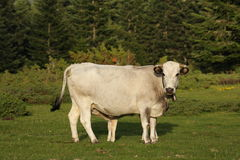 Gasconne cow in Pyrenees Stock Images