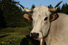 Gasconne cow in Pyrenees Royalty Free Stock Photos