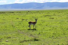 Gasell i Tanzania Royaltyfri Foto