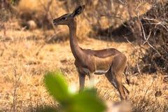 Gasell nära ett träd Samburu Fotografering för Bildbyråer