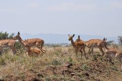Gaseller Kenya Royaltyfria Foton