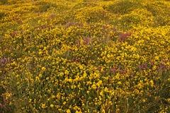 Gaspeldoorn & Heide stock afbeeldingen