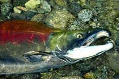 Gasping Sockeye Salmon in the upper Pitt River Royalty Free Stock Images