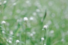 Grass flower background Royalty Free Stock Photo