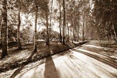 Gasse in einem Birkenwald stockfotos