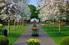 Gasse mit blühenden Bäumen des Weiß (Prunus triloba) Lizenzfreie Stockbilder