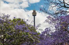 Gasse von blühenden Jacarandabäumen mit Sydney Westfield Tower an stockfotografie