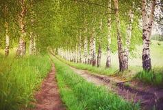 Gasse von grünen Birken bei Sonnenaufgang stockfotografie