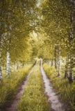 Gasse von Herbstbirken stockfotografie