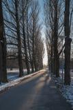 Gasse von Pappeln im Winter lizenzfreie stockfotos
