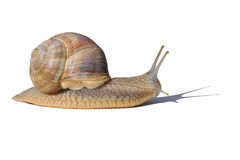 Gastéropode Stock Afbeelding