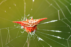 Gasteracantha Royalty Free Stock Images