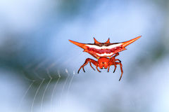 Gasteracantha versicolor Stock Photo