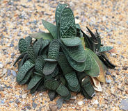 Gasteria gracilis baker royalty free stock photos