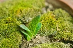 Gasteria gracilis var минимумы Стоковая Фотография