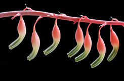 Gasteria Maculata succulent plant flowers Stock Photos
