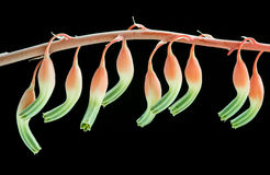 Gasteria Maculata succulent plant flowers Royalty Free Stock Images