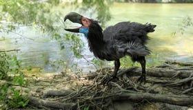 Gastornis dal fiume (uccello di terrore) Fotografia Stock