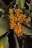 Gastrochilus dasypogon, είδη ορχιδεών Χωριό Durgapur Στοκ φωτογραφίες με δικαίωμα ελεύθερης χρήσης