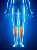 The gastrocnemius Royalty Free Stock Photos