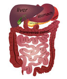 Gastrointestinal tract. Isolated white background royalty free illustration