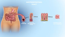 Gastrointestinal tract detailed anatomy. Gastrointestinal tract anatomy. Intestinal villi, small intestine lining, epithelial cells with microvilli detailed stock illustration