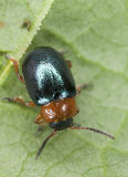 Gastrophysa polygoni sitting on leaf Stock Photography
